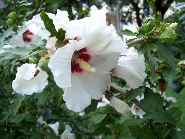 Vrtni hibiskus--Hibiscus syriacus 116