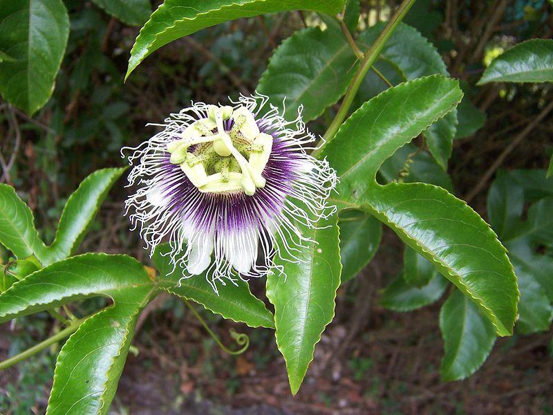 Pasiflora--Passiflora edulis 1220