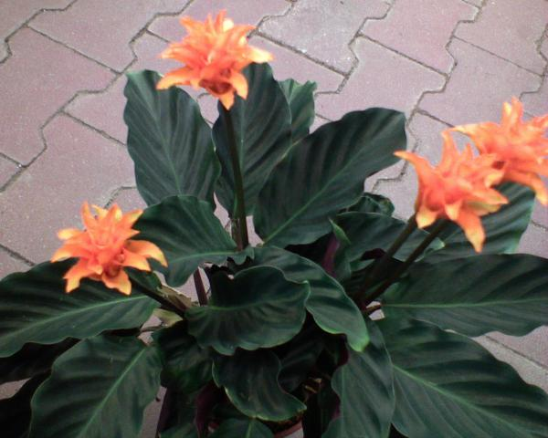 Kalatea crocata--Calathea 123