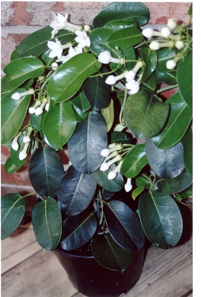 Stephanotis floribunda--Madagaskarski jasmin 125
