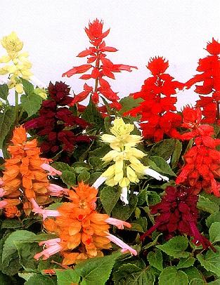 Salvija--Salvia splendens 147