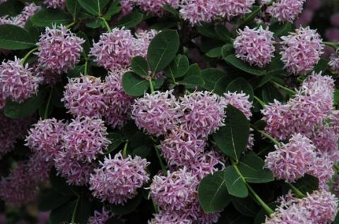 Pompon drvo--Dais cotinifolia 155