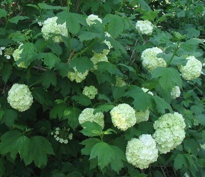 Snježne grude--Viburnum opulus 212