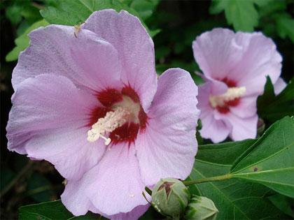 Vrtni hibiskus--Hibiscus syriacus 213