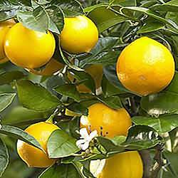 --Limun---- 222
