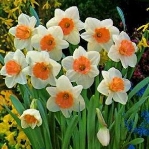 Narcis--Narcissus poeticus 233