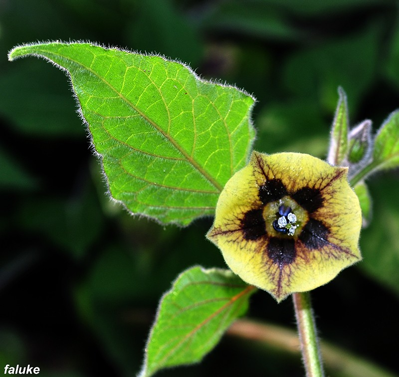 Peruanska jagoda--physalis peruviana 241