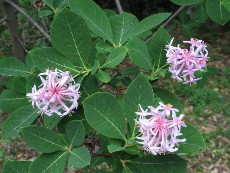 Pompon drvo--Dais cotinifolia 250