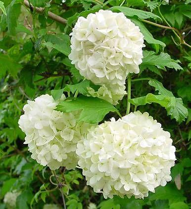 Snježne grude--Viburnum opulus 312