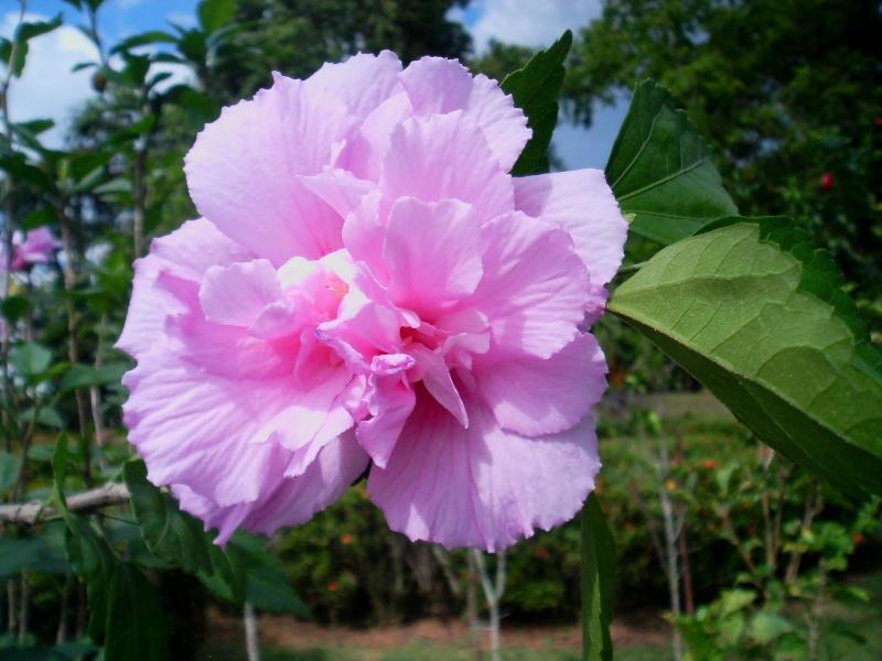Vrtni hibiskus--Hibiscus syriacus 313