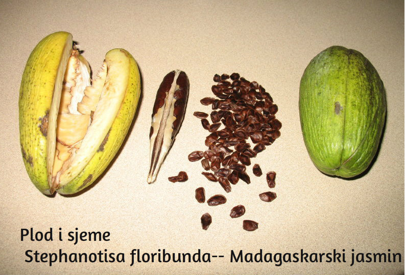 Stephanotis floribunda--Madagaskarski jasmin 318