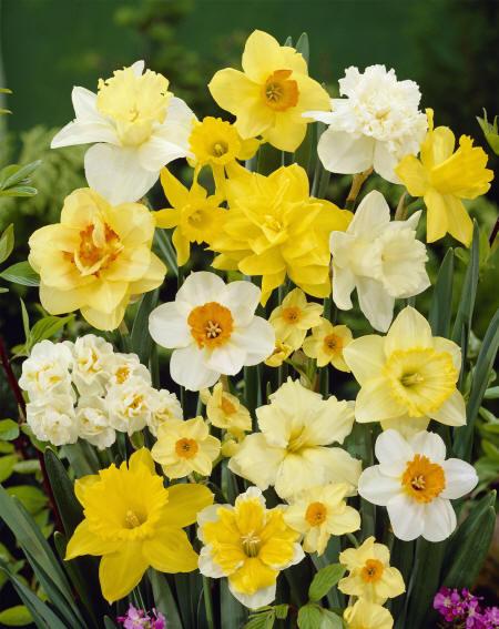 Narcis--Narcissus poeticus 324