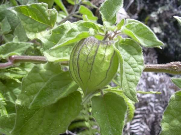 Peruanska jagoda--physalis peruviana 330