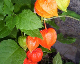 Peruanska jagoda--physalis peruviana 416