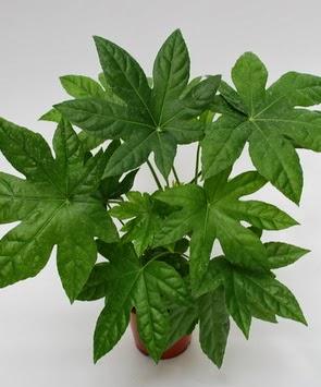 Aralija-- Fatsia japonica A111