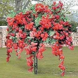Ruže stablašice A119