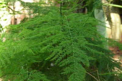 Asparagus---Asparagus officinalis A131