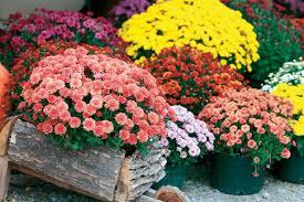 Hrizantema--Chrysanthemum sinense  A139