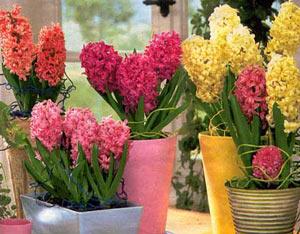 Zumbul - lat. Hyacinthus A146