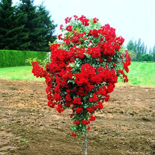 Ruže stablašice A216
