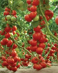 Paradajz--Solanum lycopersicum A219