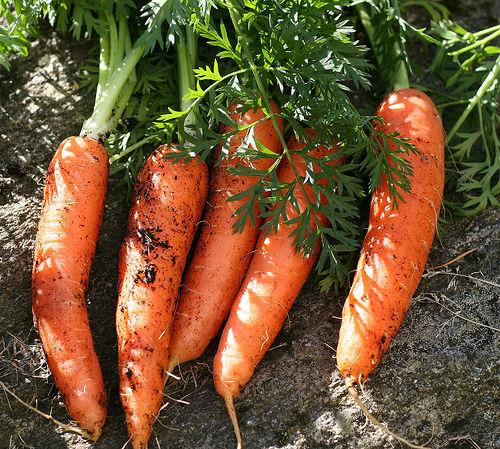Mrkva-- Daucus carota A224