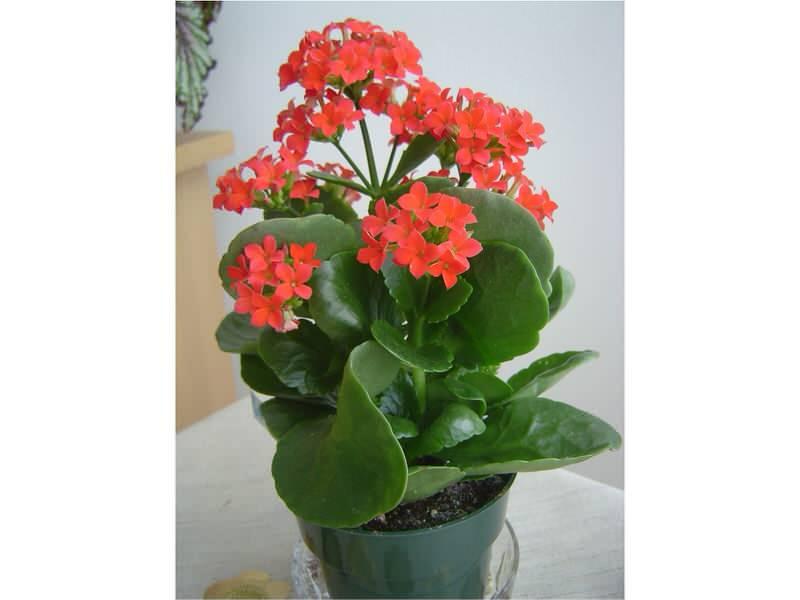 Kalanhoja--Kalanchoe grandiflora A237