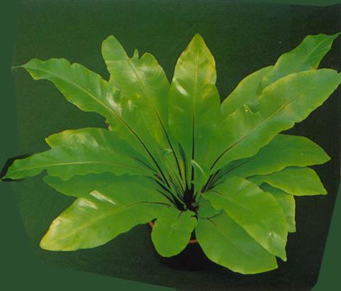 Asplenijum--Asplenium nidus avis A239