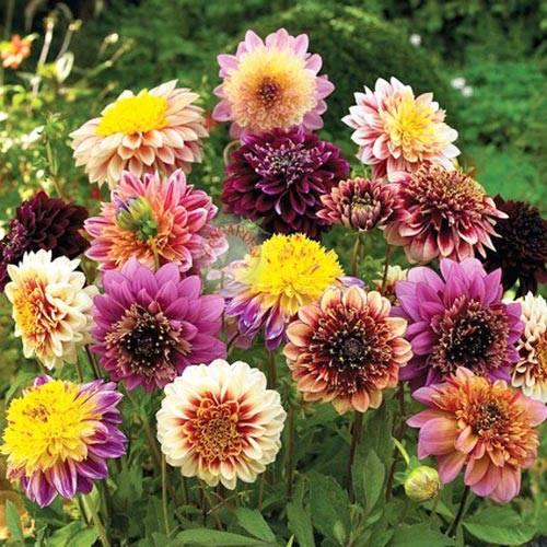 Dalija--Dahlia variabilis A242