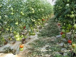 Paradajz--Solanum lycopersicum A316