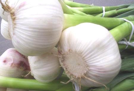 Bijeli luk--Allium sativum  A317