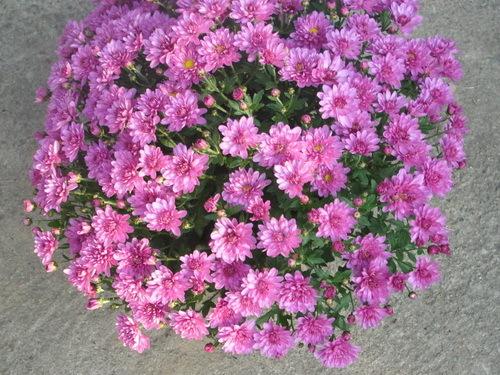 Hrizantema--Chrysanthemum sinense  A324