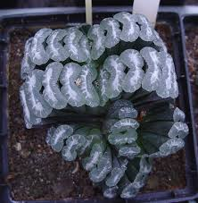 Haworthia truncata A326