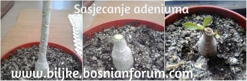 Pustinjska ruža-- Adenium obesum Adeniu11