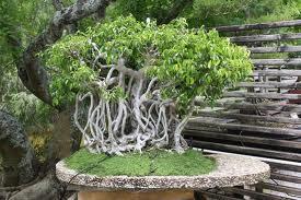 Slike bonsaia.. B210