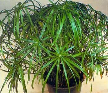 Vodena palma---Ciperus C112