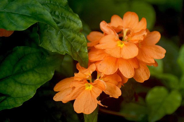 Krosandra-- crossandra undulifolia C114