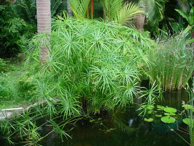 Vodena palma---Ciperus C213