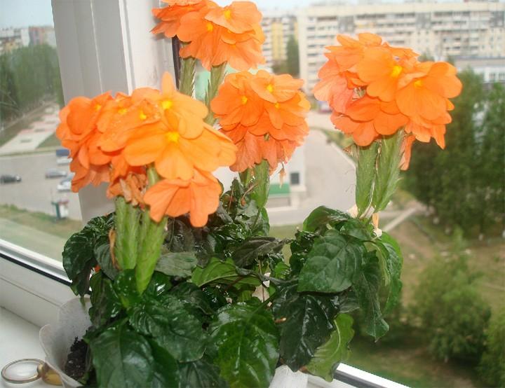 Krosandra-- crossandra undulifolia C215