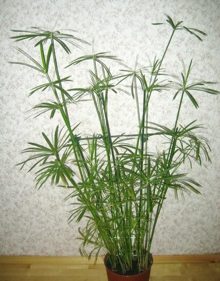 Vodena palma---Ciperus C311