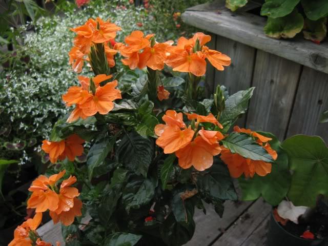 Krosandra-- crossandra undulifolia C312