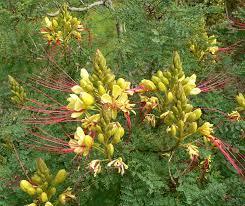 CAESALPINIA-Caesalpinia gilliesii  Caesal10