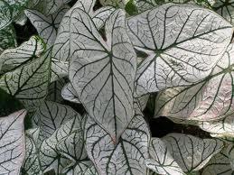 Kaladij--Caladium bicolor Caladi12