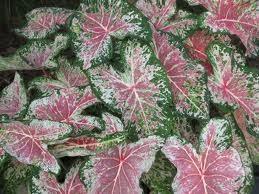 Kaladij--Caladium bicolor Caladi13