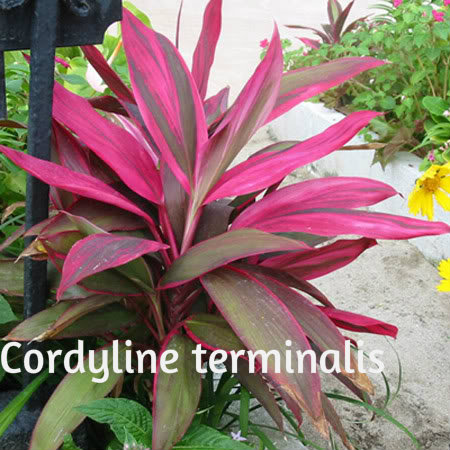 Kordilina--cordyline terminalis Cordyl11