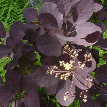 Cotinus coggygria purpurea 'Royal Purple' (Rujevina) Cotinu10