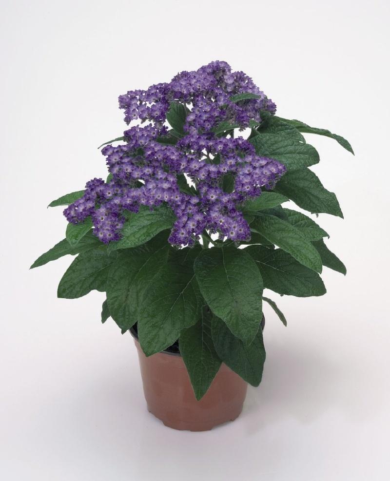 VANILA--Heliotropium arborescens Heliot10