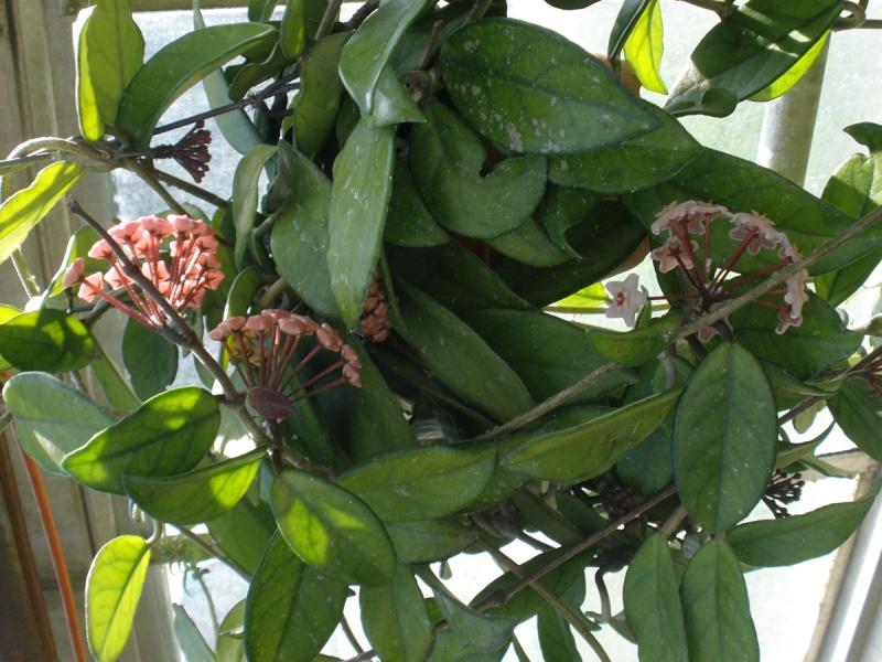 Hoya carnosa – voštani cvet Hoyaca10