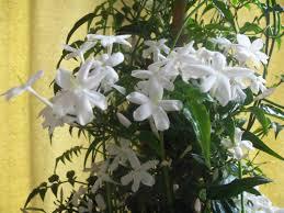 Jasmin--Jasminum polyanthum Images11