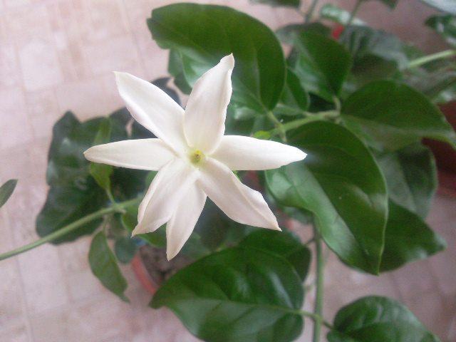 Jasminum sambac Jasmin10